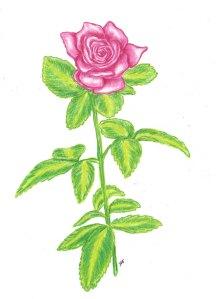 heirloom gardens- rose
